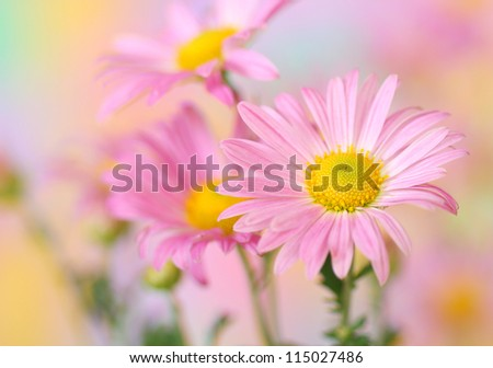 Close-up of pink chrysanthemum flowers