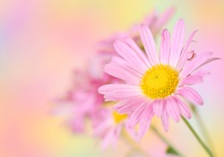 Close-up of pink chrysanthemum flowers on colorful background