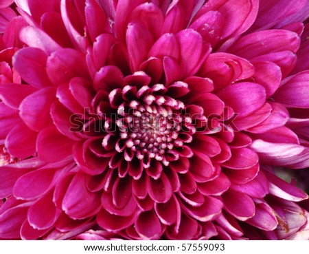 close up of pink Daisy