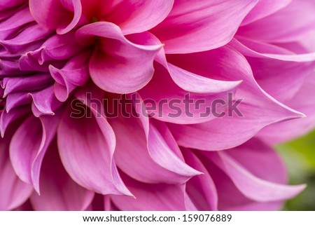 Close up of pink flower : aster with pink petals and yellow heart for background or texture