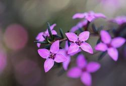 Close up of pink flowers of the Australian native Boronia ledifolia, family Rutaceae, Sydney, Australia. Also known as the Showy, Sydney or Ledum Boronia