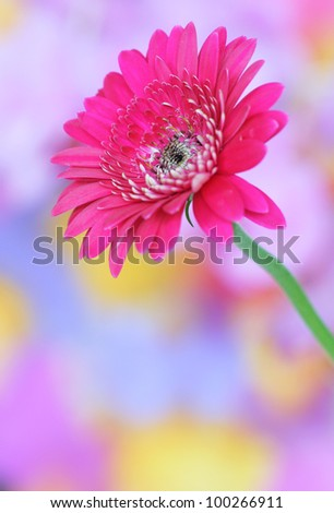 Close-up of pink gerbera on colorful background