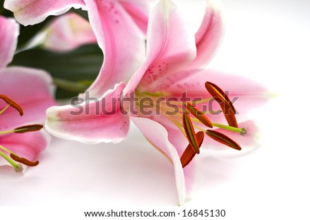 Close Up of pink lillies on white