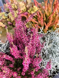 Close up of pink or purple and red or orange heather plants. Fall flower arrangement.