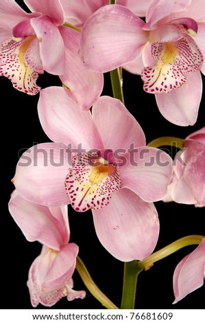 close-up of pink orchid against black background