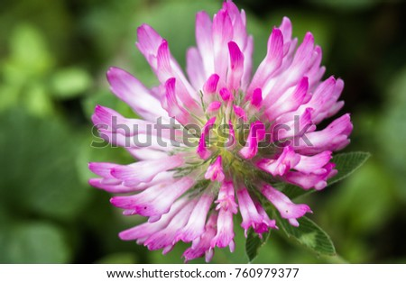 close up of pink red clover flower in green blurred background #760979377