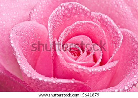Close up of pink rose petails covered dew
