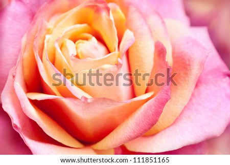 close up of pink rose petals