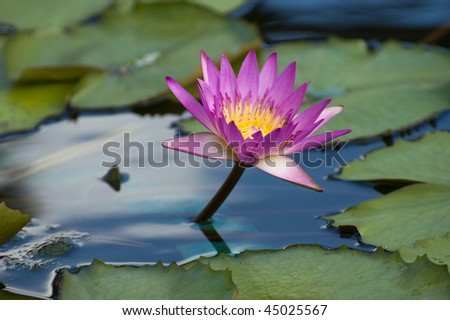 stock-photo-close-up-of-pink-water-lily-on-the-water-45025567.jpg