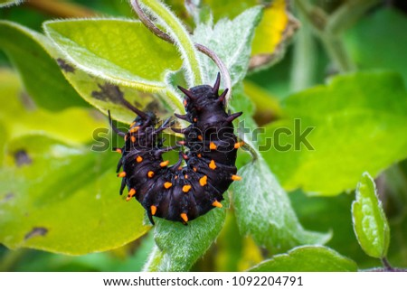 Close up of Pipevine swallowtail (Battus philenor) caterpillar perched on a green plant, California