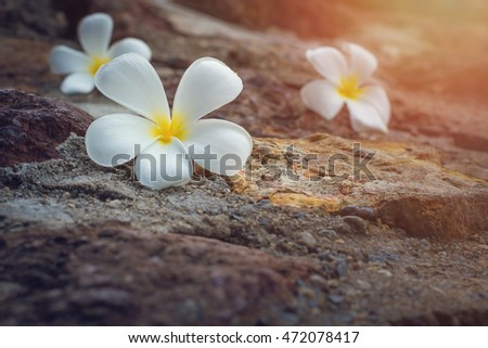 Close up of Plumeria  on the stone background. #472078417