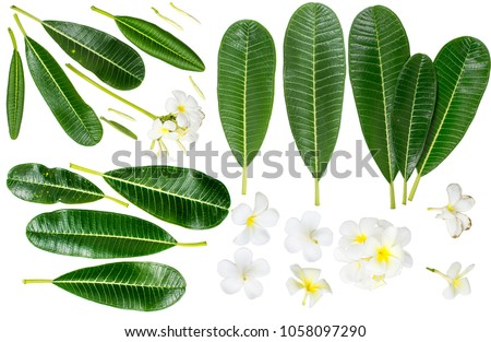 Close up of Plumeria or Frangipani (tropical flowers, Hawaiian Lei Flower)   Collection of green leaves isolated on white background with clipping path. Plumeria flower blooming and green leaf, Spa.