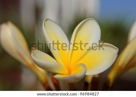 Close up of Plumeria plant flower - stock photo