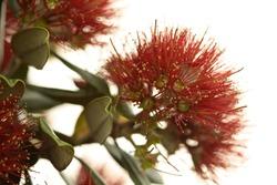 Close up of pohutukawa flowers.