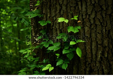 Close up of poison-ivy on a tree trunk