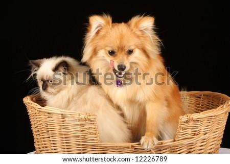 close up of pomeranian puppy dog and himalayan persian kitten in cane wicker basket against black background