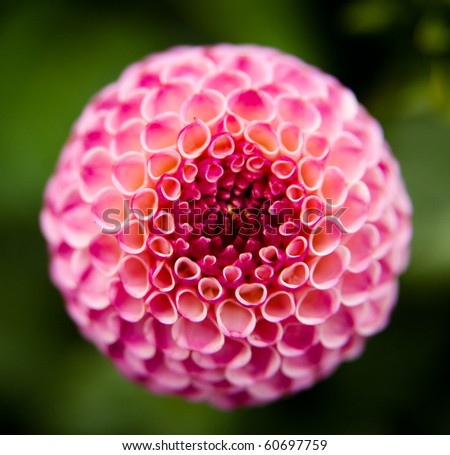 Close Up of Pretty Dahlia Flower