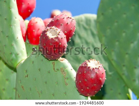 Close up of Prickly Pear cactus fruit on the cacti. Thefruitof prickly pears is edible, but it must be peeled carefully to remove the small spines on the outer skin before consumption.