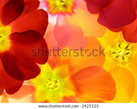 Close-up of primula flower against white background #2421123