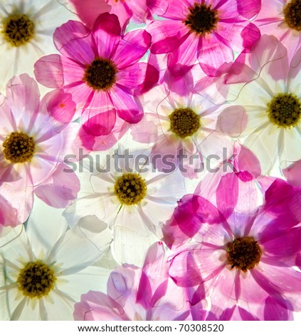 Close-up of primula flower against white background #70308520