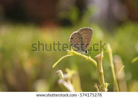 Close up of Prosotas Nora butterfly. Prosotas nora, the common lineblue, is a species of lycaenid butterfly found in Asia. #574175278
