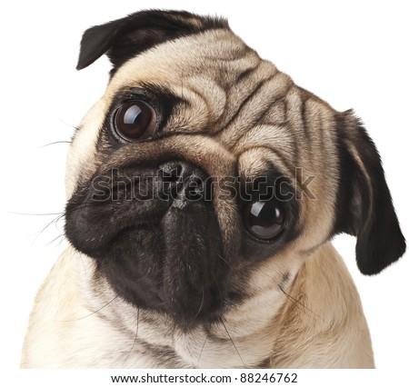 Close-up of Pug #88246762
