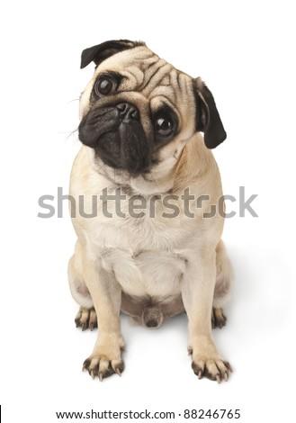 Close-up of Pug