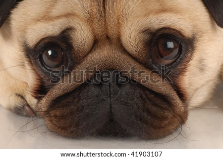 close up of pug dog looking at viewer