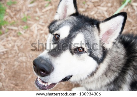 Close up of Pure breed Husky Dog Relaxing at Dog Park