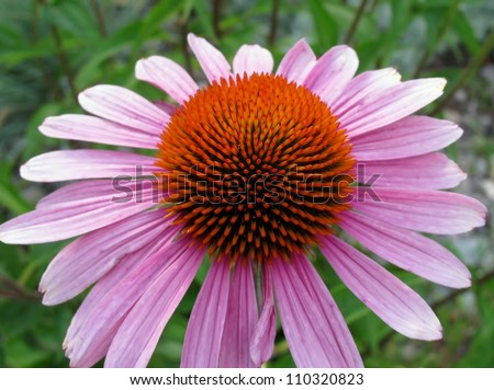 Close up of purple coneflower plant (Echinacea purpurea)