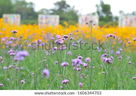 Close up of purple flowers lean towards the light of Sun in the garden without irritant in fresh concept, freedom concept, yellow concept, natural concept with blurred background and copy space.