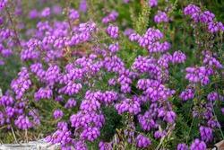 Close up of purple heather flowers