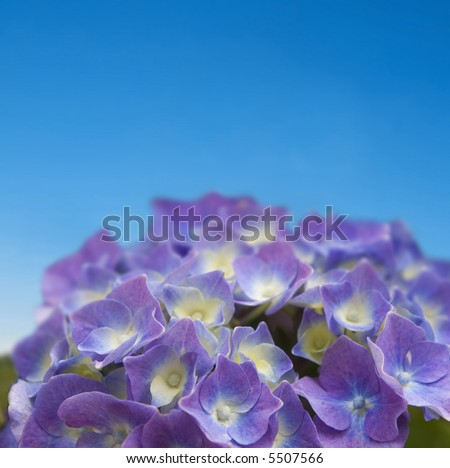 close up of purple hydrangea on blue sky - shallow dept of field