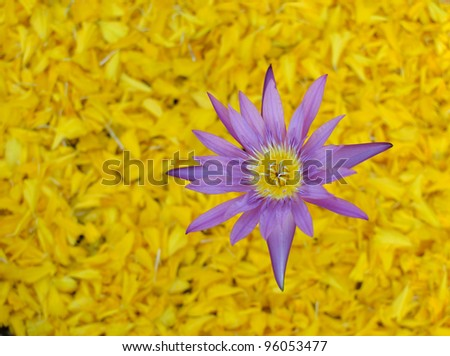 close up of purple lotus on yellow petals background.