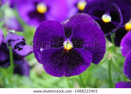 Close-up of purple pansy flowers or pansies blooming in the garden. Close-up of blooming spring flowers. Flowering season of pansies. Pansy blooming in spring. Macro.