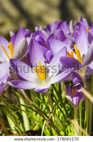 Close up of purple spring crocuses opening in the sunshine