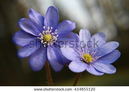 Close up of purple violet flowers (Hepatica nobilis, Common Hepatica, liverwort, kidneywort, pennywort, Anemone hepatica)