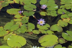 Close up of purple water lily flowers, buds and a blue dragonfly sitting on a  lily pad in a pond