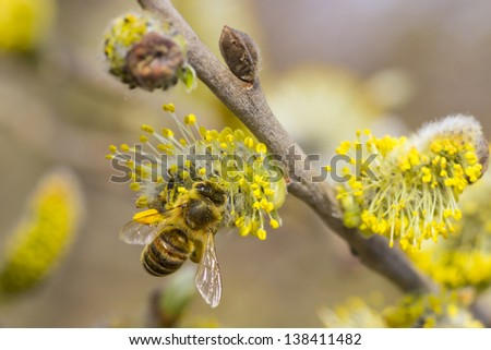 Close-up of Pussy Willow branches with bee