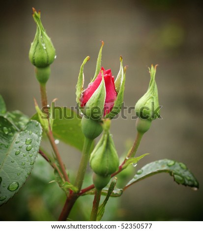Close up of rain drops on rose flower