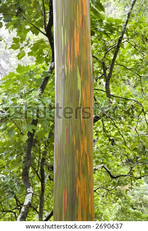 Close-up of Rainbow Eucalyptus tree, Maui, Hawaii, USA.