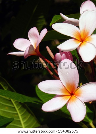 Close up of rainbow plumeria blossom, Kauai, Hawaii