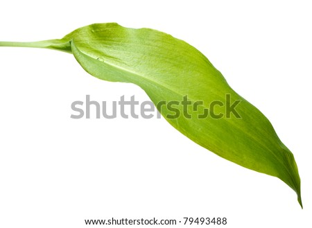 Close-up of ramsons (Allium ursinum) leaf isolated on white with single drop