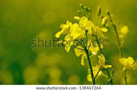 Close up of rapeseed flower with green background and copy space #138467264