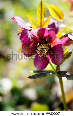 Close up of rare Helleborus flower