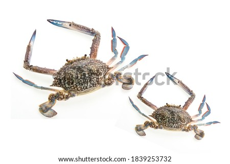Close-up of raw crab isolated