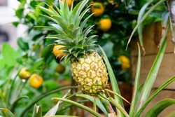 Close up of raw yellow pineapple or ananas in a garden wooden box in a raining day, with small waterdrops on green leaves in an organic garden, beautiful outdoor natural background, urban gardening