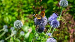 Close up of Red Admiral Butterfly on top of a blue Globe Thistle with it's wings open wide