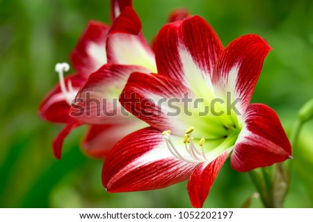 Close-up of red Amaryllis (Amaryllidaceae), plant genus St. Joseph's lilies (Hippeastrum), close-up of a red Amaryllis in abstract representation. Shallow DOF.