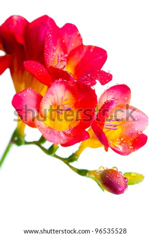 Close up of red and yellow flowers of freesia with water drops